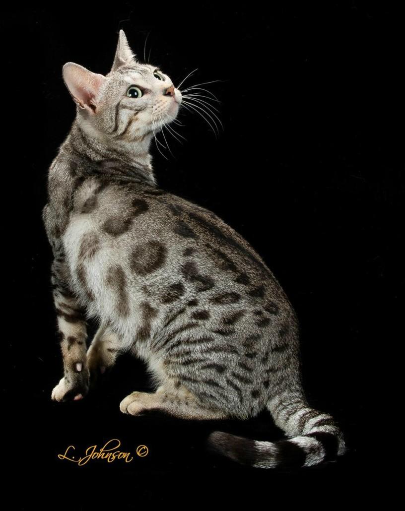 QUEEN BENGAL CATS - Valley Katz Bengals